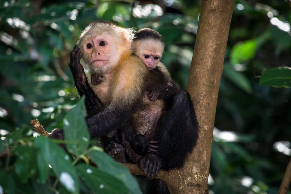 Picture of a primate at Monkey Island, Panama.